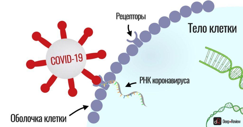 как коронавирус заражает клетку