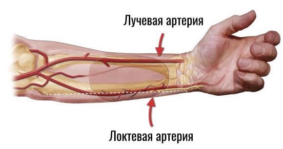 лучевая и локтевая артерии
