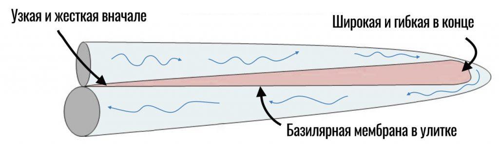 базилярная мембрана форма