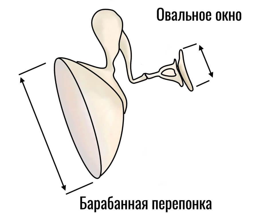 барабанная перепонка, слуховые косточки и овальное окно