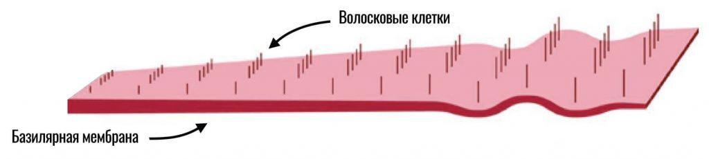 волосковые клетки на базилярной мембране