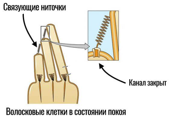 стереоцилии