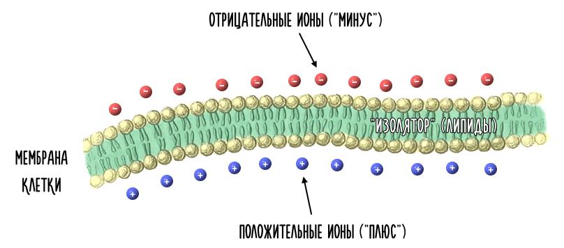 клеточная мембрана как конденсатор